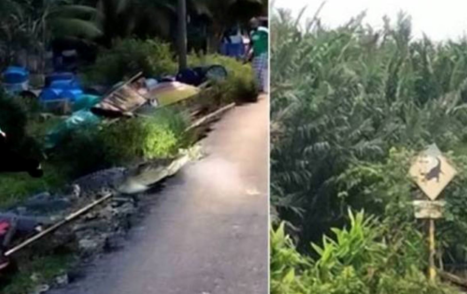 villagers in perak shocked to find a crocodile hanging out near a canal