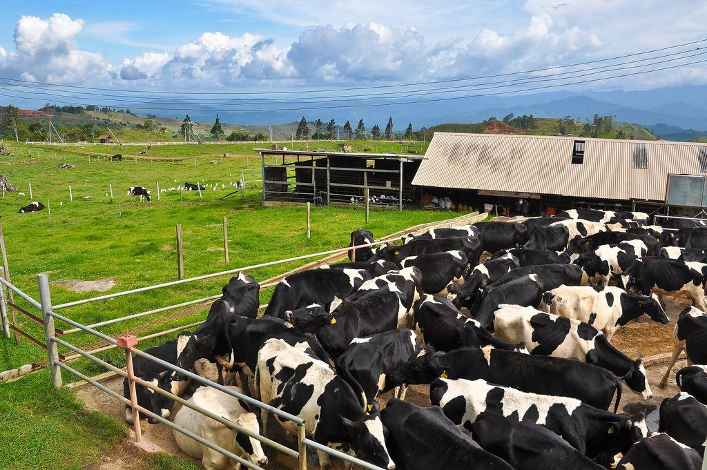 desa cattle dairy farm kundasang seakan berada di new zealand!
